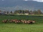 Tillamook-Elk-Herd.jpg